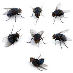 Cluster Flies Kidderminster Pest Control